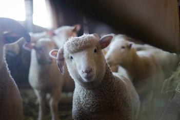 Program Owca Plus będzie kontynuowany
