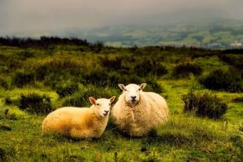 Kolejne pieniądze dla owcy