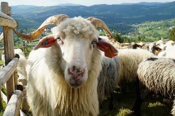 Plus dla owcy